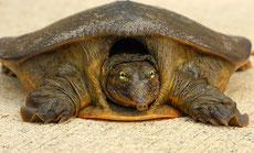 tortue à carapace molle