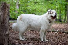 montagne des pyrennes patou caractere origine sante poil couleur entretien fiche chien