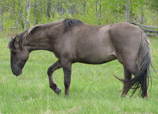 sorraïa caractere origine robe sante fiche cheval