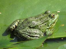 grenouille verte taille poids longevite habitat alimentation