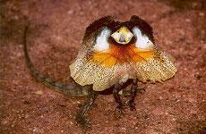 dragon d'australie lezard à collerette