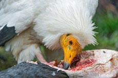 vautour percnoptere egypte