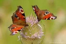 paon du jour papillon