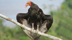 vautour urubu