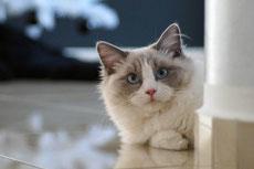 ragdoll caractere origine sante poil couleur entretien fiche chat