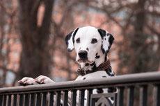 dalmatien caractere origine sante poil couleur entretien fiche chien