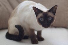 balinais caractere origine sante poil couleur entretien fiche chat