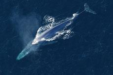 rorqual bleu ou baleine bleue