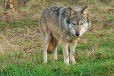 loup gris taille poids longevite habitat alimentation