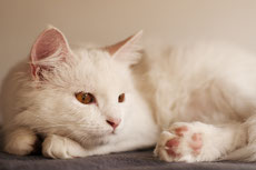 angora turc caractere origine sante poil couleur entretien fiche chat