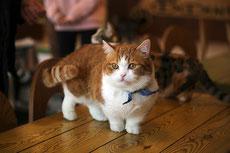munchkin caractere origine sante poil couleur entretien fiche chat