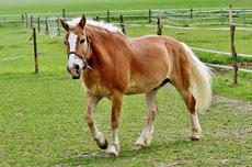 haflinger caractere origine robe sante fiche cheval