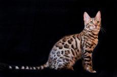 bengal caractere origine sante poil couleur entretien fiche chat