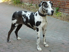 dogue allemand caractere origine sante poil couleur entretien fiche chien