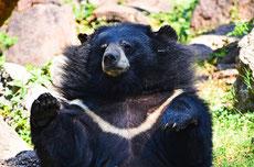 ours à collier