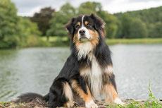berger australien caractere origine sante poil couleur fiche chien
