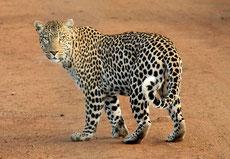 panthère ou léopard d'afrique