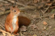 ecureuil roux taille poids longevite habitat alimentation
