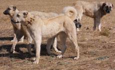berger d'anatolie caractere origine sante poil couleur fiche chien