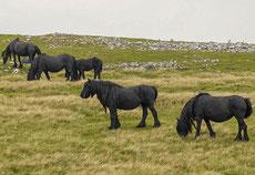 fell cheval poney