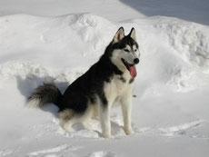 husky sibérien caractere origine sante poil couleur entretien fiche chien