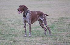 braque allemand caractere origine sante poil couleur entretien fiche chien