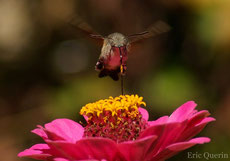 moro sphynx papillon