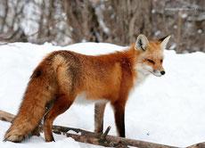 renard roux taille poids longevite habitat alimentation