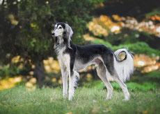 saluki levrier persan caractere origine sante poil couleur entretien fiche chien