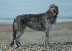 deerhound caractere origine sante poil couleur entretien fiche chien