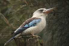 kookabura a ailes bleues martin chasseur