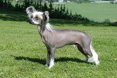 chien chinois a crete caractere origine sante poil couleur entretien fiche chien