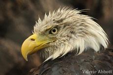 pygargue à tete blanche aigle americain