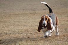 basset hound caractere origine sante poil couleur fiche chien