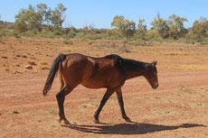 brumby caractere origine robe sante fiche cheval