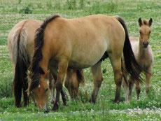 henson caractere origine robe sante fiche cheval
