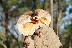 dragon australie lezard a collerette