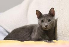 bleu russe caractere origine sante poil couleur entretien fiche chat
