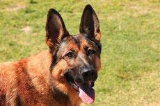 malinois caractere origine sante poil couleur entretien fiche chien