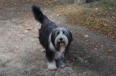 bobtail caractere origine sante poil couleur entretien fiche chien