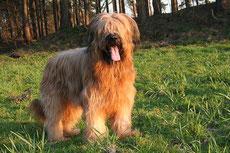 briard berger de brie caractere origine sante poil couleur entretien fiche chien