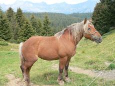 comtois caractere origine robe sante fiche cheval