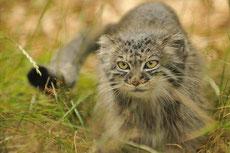 manul chat pallas fiche animaux felins