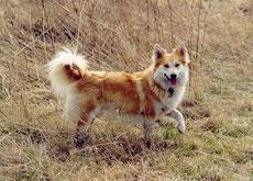berger d'islande caractere origine sante poil couleur entretien fiche chien