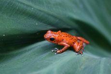 dendrobate grenouille fraise