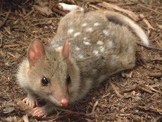 quoll ou dasyure ou chat marsupial