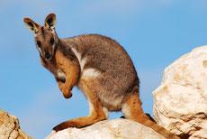 wallaby des rochers ou petrogale