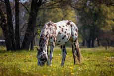 appaloosa caractere origine robe sante fiche cheval