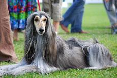 levrier afghan caractere origine sante poil couleur entretien fiche chien