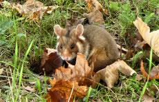 hamster d'europe
